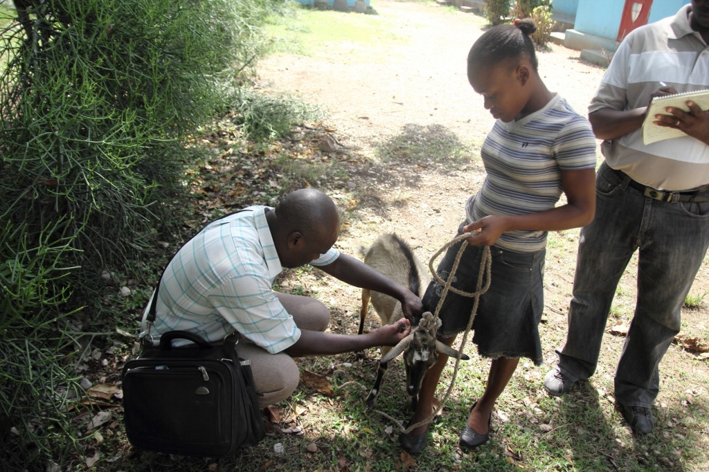 receiving training for the goat Fania received in Haiti